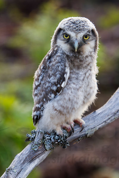 Hawk Owl Chick