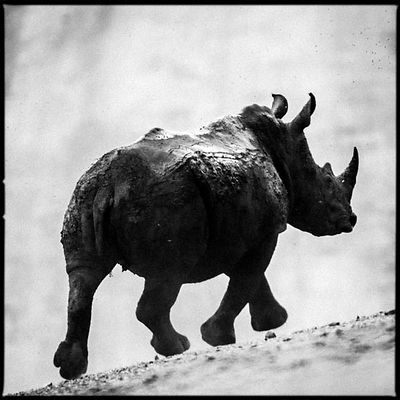 8027-Rhino_running_on_the_road_Laurent_Baheux