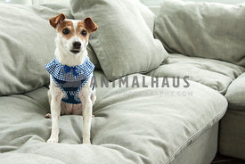 Jack Russell sitting on a couch in her pretty harness