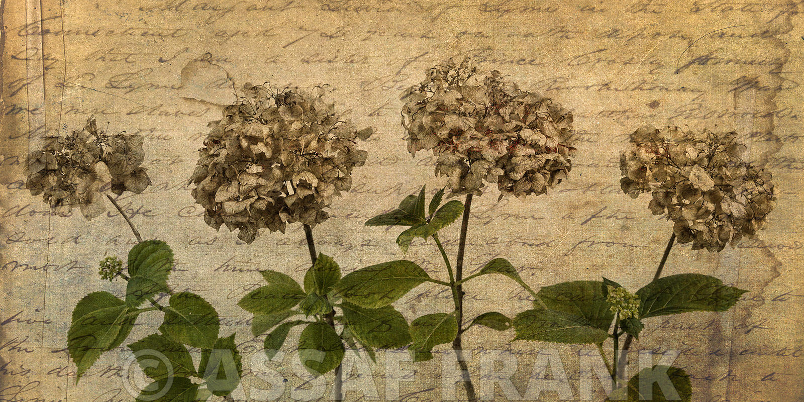 Four dried Hydrangea flowers in a row