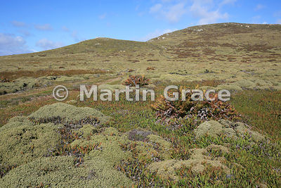 Typical Falkland dwarf shrub heath vegetation of Diddle Dee (Empetrum rubrum), Small Fern (Blechnum penna-marina) and Tall Fe...