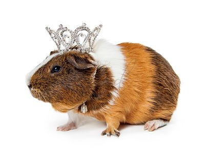 Guinea Pig Wearing Crown
