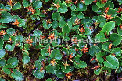 Dwarf or Least Willow (Salix herbacea), West Fjords, Iceland