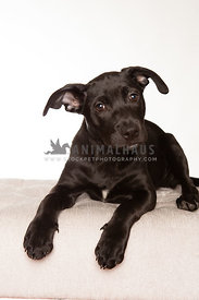 Young black puppy on white background in studio