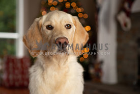 Yellow labradoodle puppy in front of Christmas tree