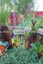 Jardin exotique. Dicksonia antarctica Labill. (fougère arborescente), Soft Tree Fern, Man Fern, Tasmanian Tree Fern, Fougère ...