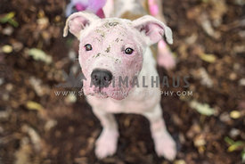 Close up of female pitbull rescue dog with case of mange wearing a pink tutu