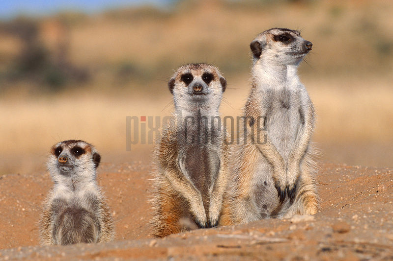 Meerkat Trio at Den