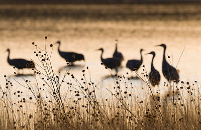 Sandhill Cranes Grus canadensis on roosting pond Bosque del Apache New Mexico USA January
