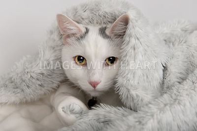 White cat snuggled in blanket looking at camera
