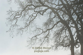 Tree Branches Pattern, Foggy Morning, Calaveras Road, Milpitas, CA, USA