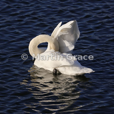 Whooper Swan (Cygnus cygnus) preening its feathers in late afternoon sunlight, Dumfries & Galloway, Scotland