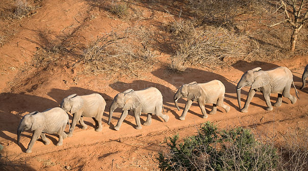 Aerial of orphaned elephants on a walk-about in Tsavo National Park. Near David Sheldrick Wildlife Trust Nairobi Elephant Nur...