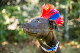 black dog looking to the side rocking a blue and red mohawk