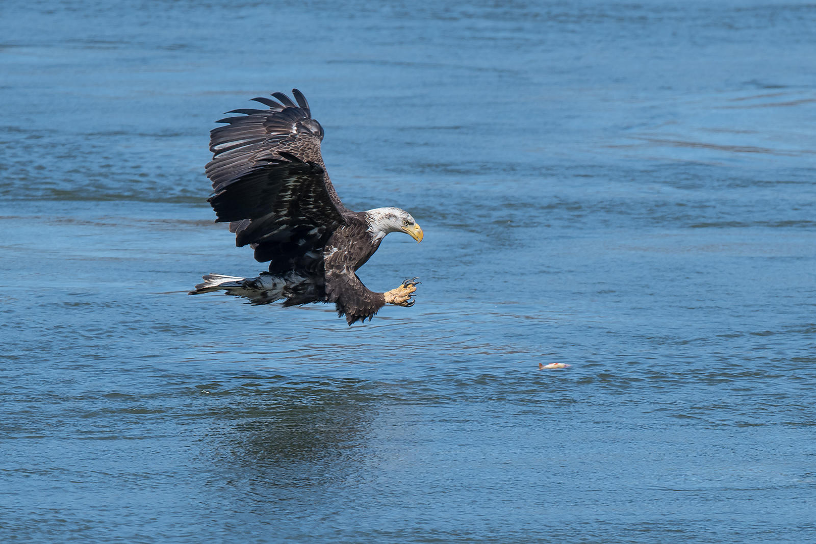 Eagle-Fishing-0801