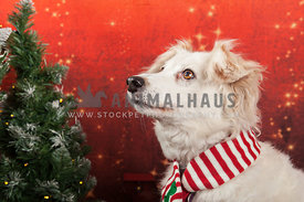 white dog wearing scarf with christmas tree behind and festive backdrop