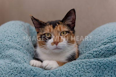 Calico cat laying on blanket looking forward