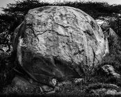 4176-Lion_sous_son_rocher_Laurent_Baheux