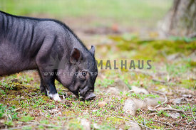 baby pot belly pig foraging