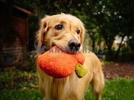 golden retriever dog holding stuffed Halloween pumpkin in mouth