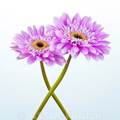Two greberas crossed