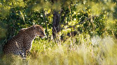 Leopard in Wild of Kenya Africa