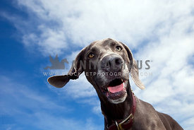 weimaraner with blue sky and clouds