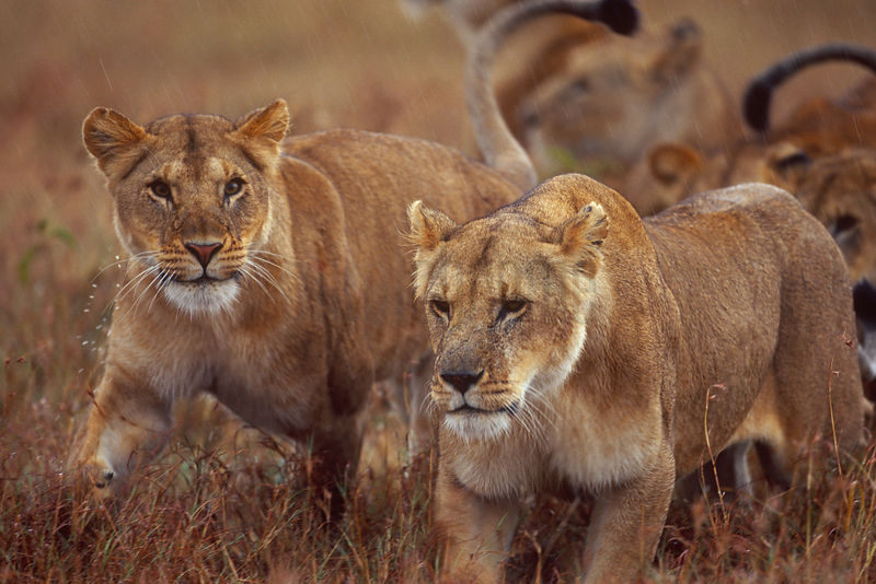 Lionesses Walking Cautiously in Damp Grass