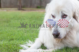 dog with patriotic glasses