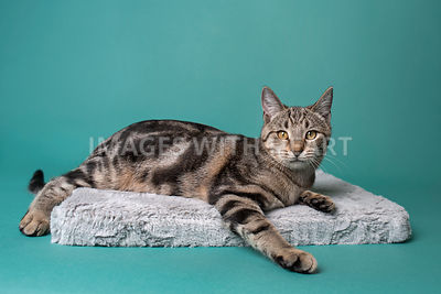 Full body cat lying on pillow