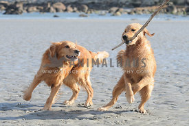 Golden Retrievers playing on the beach with a stick