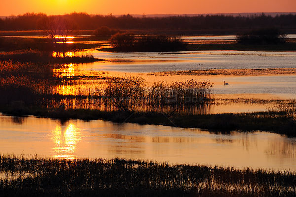Mute swan (Cygnus olor) on flooded Biebrza marshes at sunrise in spring, Biebrza National Park, Podlaskie, Poland, April.