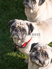 three pugs in a line