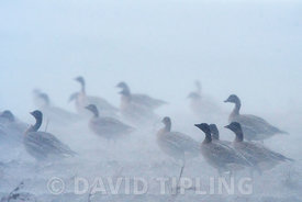 Pink-footed Geese Anser brachyrhynchus feeding in harvested sugar beet field in torrential rain and 50 mph winds, Salthouse N...
