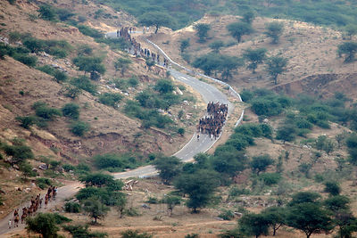 Camel herders march camels down a rural road outside Pushkar, Rajasthan, India