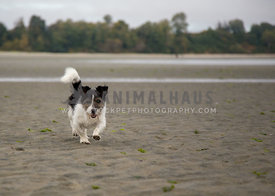 Jack russell terrier running on beach