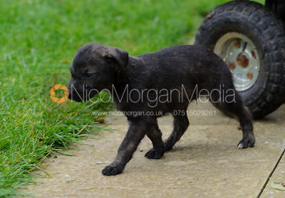 Lurcher puppies playing in the garden