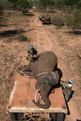 People transporting tranquillised Elephants (Loxodonta africana) on trucks. The Elephants had been darted from a helicopter i...