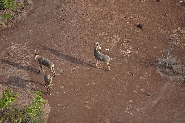 Three Hartebeest (Alcelaphus buselaphus) seen from the air. Sahelo-Sudanese Biome, W National Park (UNESCO, IUCN & RAMSAR), N...