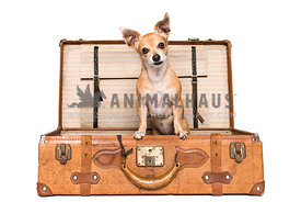 A chihuahua in a suitcase on a white background