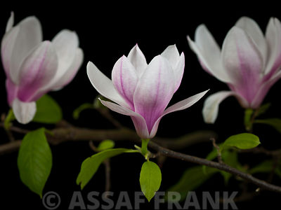 Three Magnolia flowers