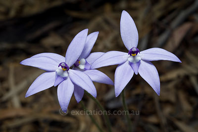 Wax-lip Orchid, Glossodia major, Australia.