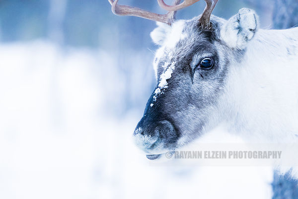 Close-up of a reindeer in winter in Lapland