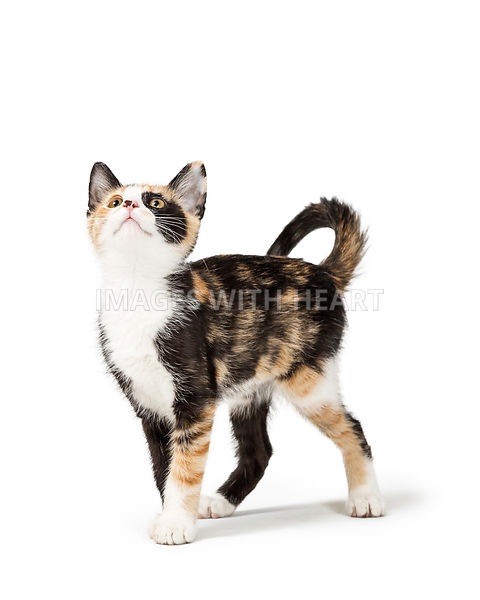 Cute Calico Kitten Looking Up into Copy Space
