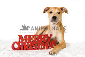 Tan puppy lying on white background with merry christmas letters
