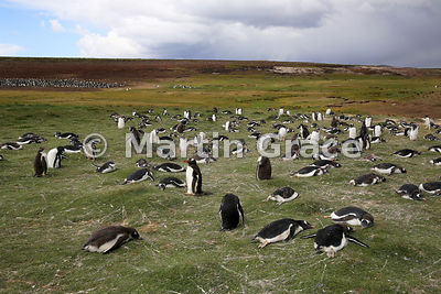 Gentoo Penguin (Pygoscelis papua papua) colony, Volunteer Point, East Falkland, Falkland Islands