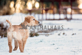 Young golden standing in snow