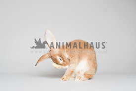 A forgetful bunny on a white background