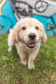 Golden Retreiver puppy wants to meet everyone – grafitti in background