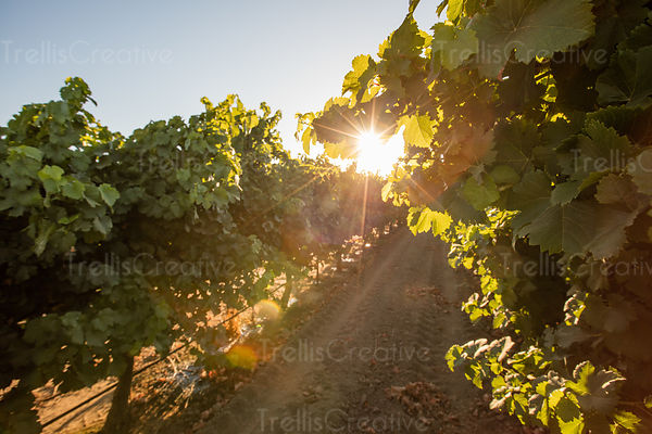 Tractor tire tracks in a dusty vineyard with bright sunlight